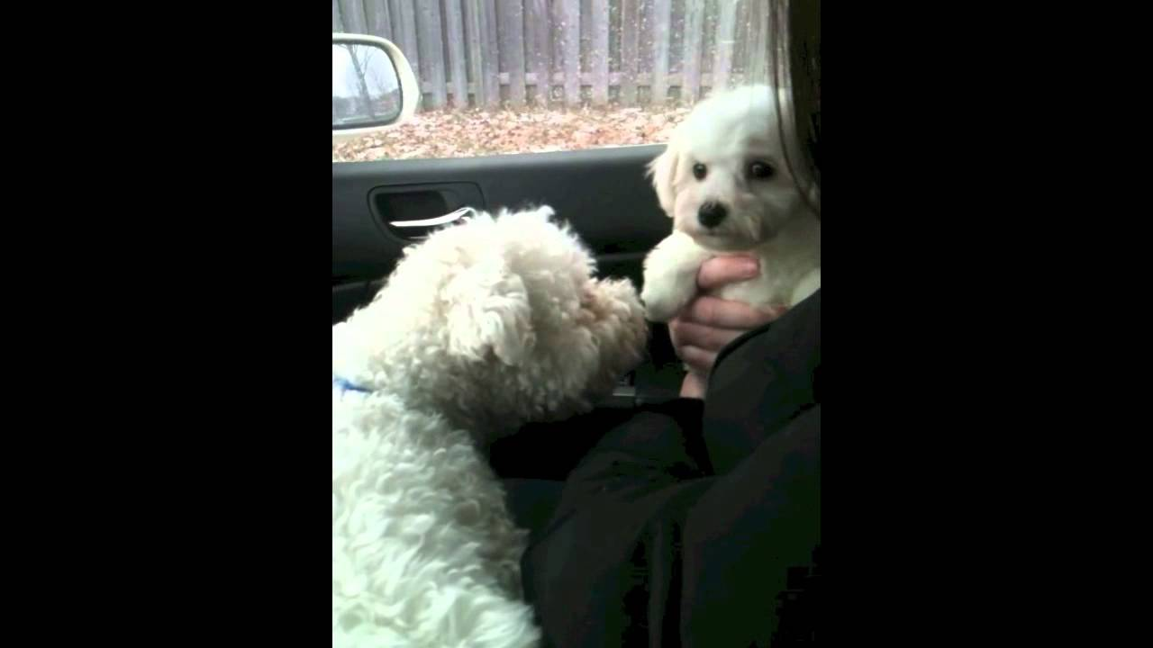 Bichon Frise Puppy Coming Home 8 Weeks Old, Meets Real -7437