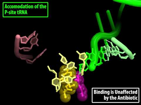 Mechanism of Action of the Antibiotic CHLORAMPHENICOL on the 70S Ribosome