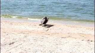 Баклан сушит крылья на берегу