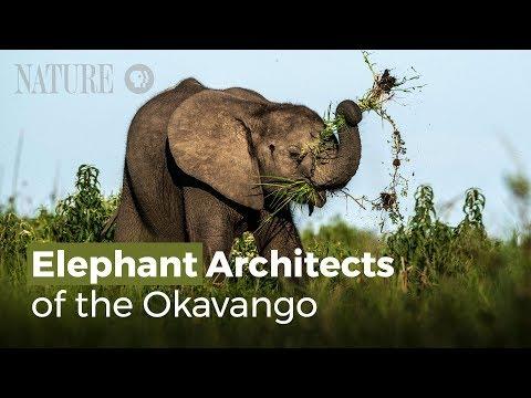Những Kiến Trúc Sư Voi Của Sông Okavango