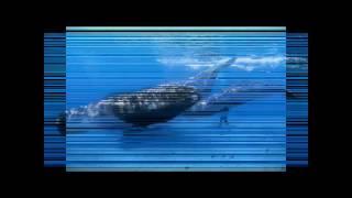 Самый большой в мире кит синий А1 / The largest whale in the world, Blue