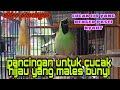 Pancingan Ampuh Untuk Cucak Hijau Yang Males Bunyi Atau Drop Mental  Mp3 - Mp4 Download