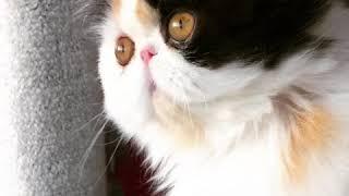 Persian Calico - Purr Kitty's Khaleesi's Reign