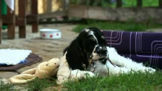 American Cocker Spaniel - Puppy - Eman Snehulienka - Portrait