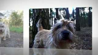 Cairn Terrier Training