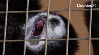 シロテテナガザルの鳴き声~White-banded Gibbon crying