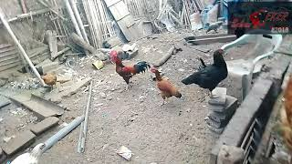 #PresidenCEKER Peternakan Ayam Semi Intensif Lahan Sempit - 200 Telur/Bulan