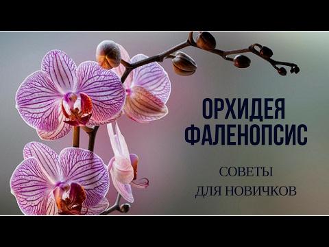 Орхидея ФАЛЕНОПСИС. СОВЕТЫ ДЛЯ НАЧИНАЮЩИХ