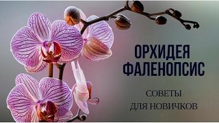 видео Орхидея фаленопсис