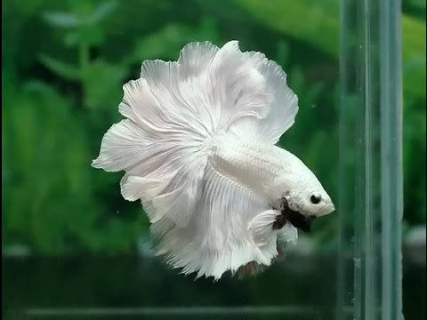 Most Beautiful Betta Fish in The World | Never Seen Before ...