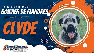 Clyde | 2.5 Year Old Bouvier des Flandres | 2 Week Board and Train