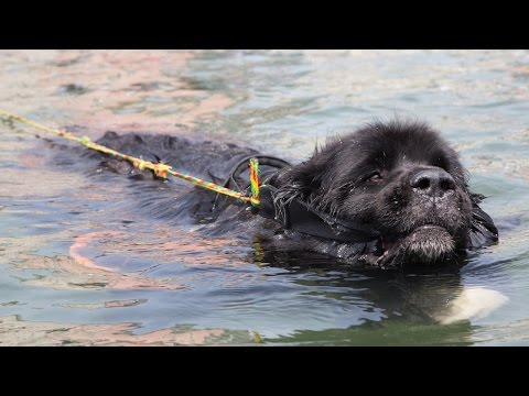 Super Swimmer Dogs Save Lives: SUPERPOWER DOGS
