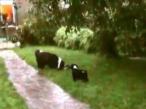 kleine schwarz weisse bearded collie welpen spielen im garten youtube. Black Bedroom Furniture Sets. Home Design Ideas