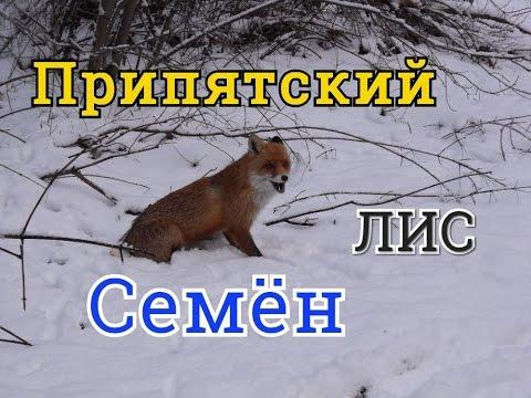 Припятский лис Семён...