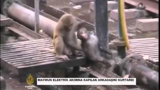 Maymun elektrik akımına kapılan arkadaşını kurtardı