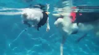 Sunday Morning Family Swimming Fun With The Dogs - Great Pyrenees Golden Retriever Mix & 2 Poodles