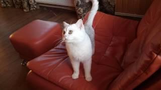 Британский котик окрас серебристая шиншилла!