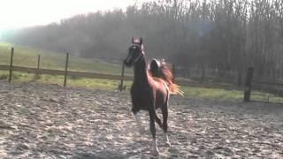 Stallion (saddlebred Sir William Robert x DHH Saffraan)