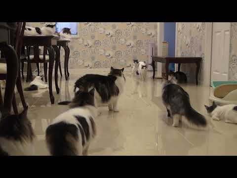 朝のトレーニング 20200126 Norwegian Forest Cat Cattery FANTARJA
