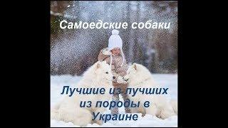 Самоедские собаки лучшие из лучших из породы в Украине.
