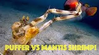 Puffer Fish Vs Mantis Shrimp: Puffer Fish Explodes Underwater After Attack From Mantis Shrimp Hd