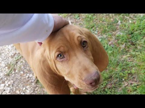 Blood hound puppy playing