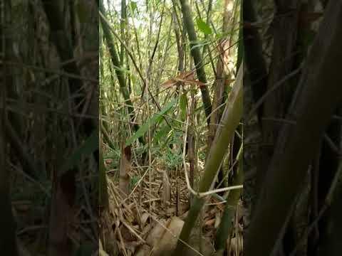 Proses pengambilan bambu pethuk muaradua#asli rumpun bambu#