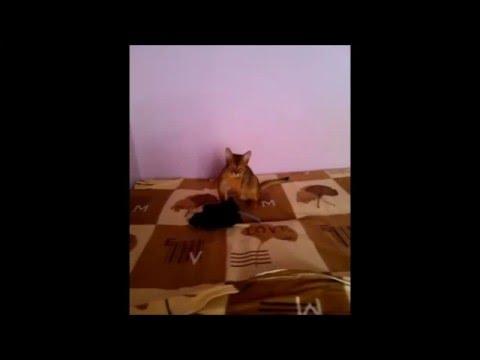 A ruthless Abyssinian kitten