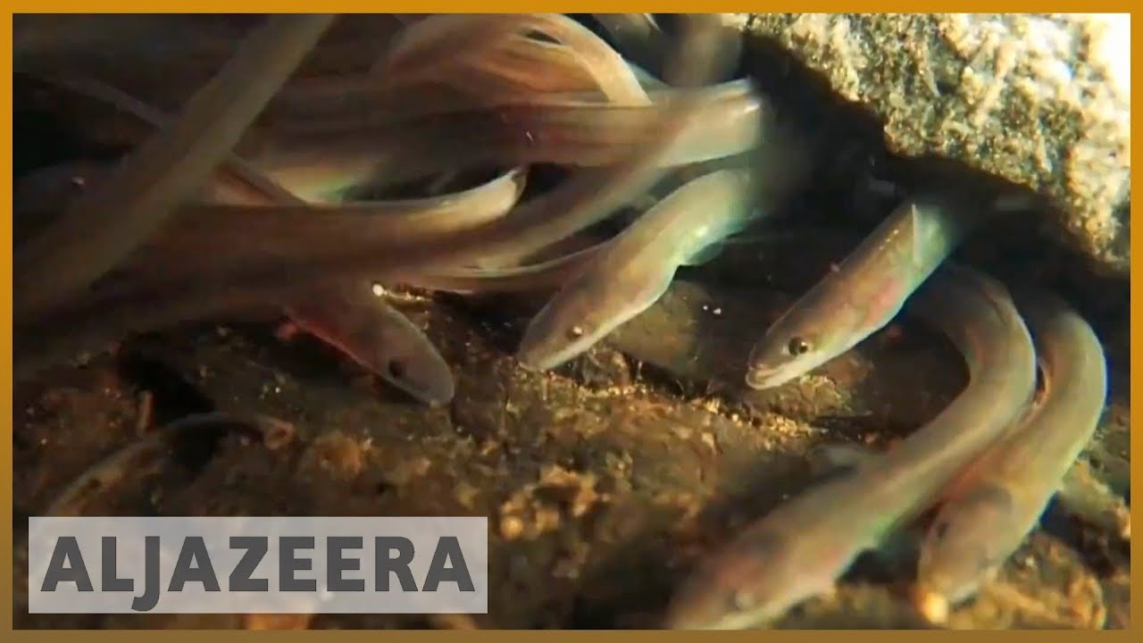 AlJazeera English:Calls for crackdown on illegal eel smuggling from Europe