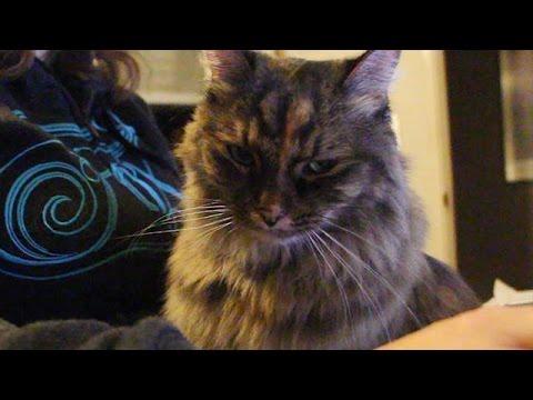 types of tabby cat