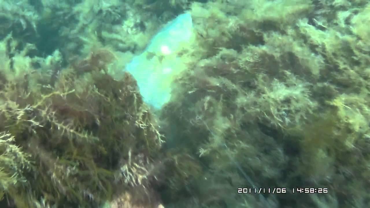 Подводная охота, Черное море Крым, Лавраки Dicentrarchus labrax arsi@охота 'морской волк'