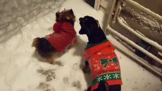 A Yorkie And Min Pin Playing In The Snow.