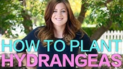 How to Plant A Hydrangea // Garden Answer