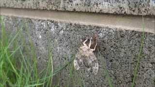家の草むしり中に蛹を発見。 子供に見せようと呼びに行って帰ってきたら...