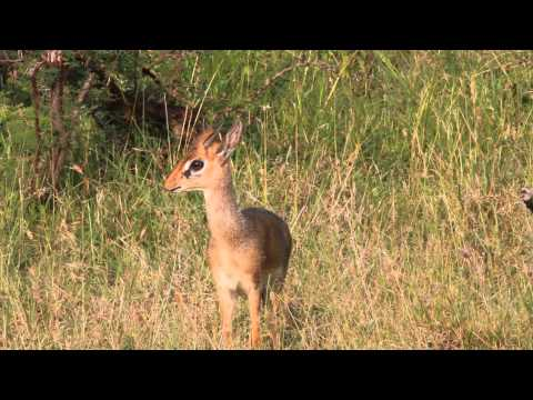 Dik Dik alarm calls after seeing a nearby leopard