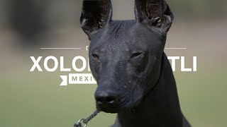 ALL ABOUT XOLOITZCUINTLI: THE MEXICAN HAIRLESS DOG