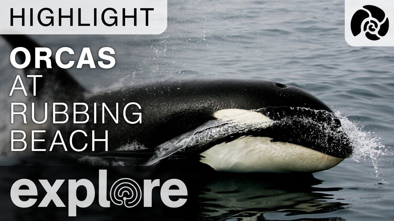 Orcas at Main Rubbing Beach - Live Cam Highlight