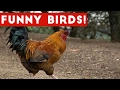Funny Rooster & Bird Videos Weekly Compilation 2017 | Funny Pet Videos