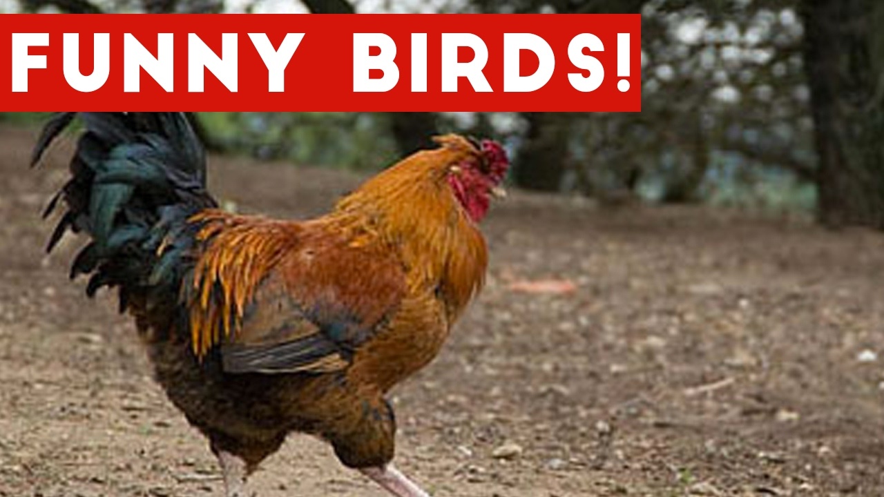 funny rooster amp bird videos weekly compilation 2017 f doovi