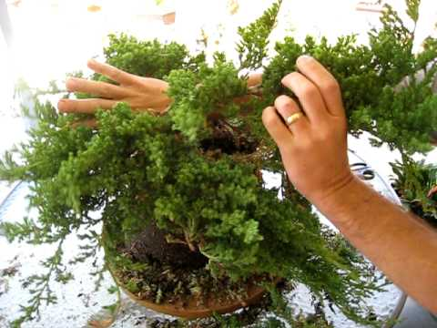 How To Create A Bonsai Tree From A Nursery Juniper Part