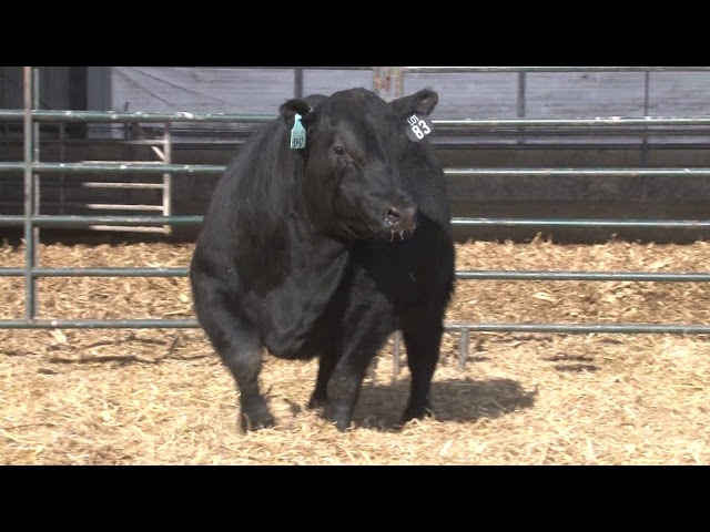 Schiefelbein Angus Farms Lot 83