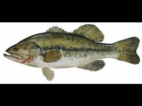 Bass Taxidermy Part 1