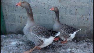 видео породы гусей