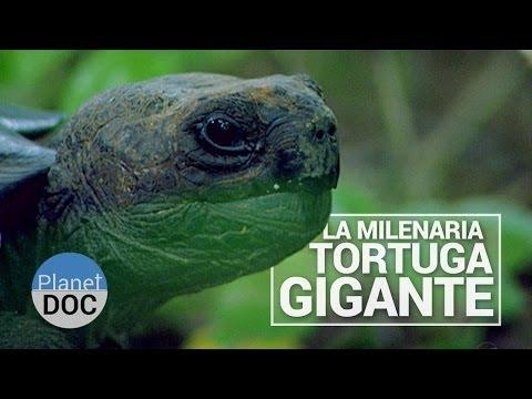 Animales extra os tortugas gigantes las tortugas mas grandes del mundo criaturas raras - Animales salvajes apareandose ...