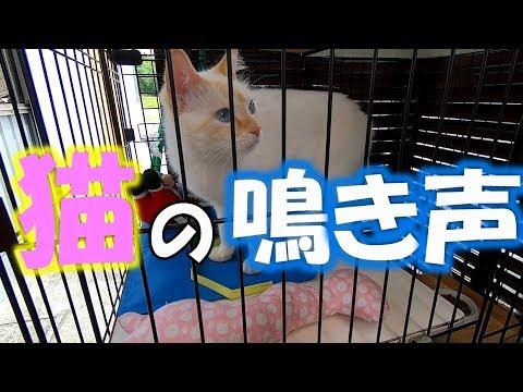 猫の鳴き声がかわいい! Cat's meow so cute !
