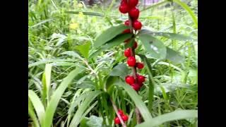 Ядовитые лесные ягоды - волчье лыко, волчья ягода и жимолость лесная