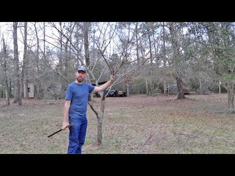 Pruning a Plum Tree for Better Shape and Production