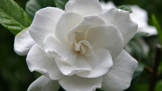 Gardenia Care and Handling