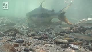 Свободу лососю!