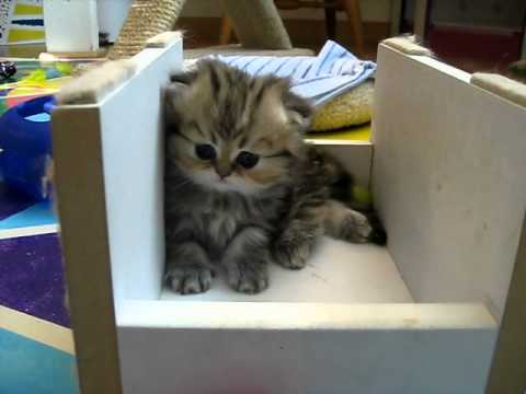 Cute Persian kittens: the 'I' Litter 1 of ? - 07.13.11